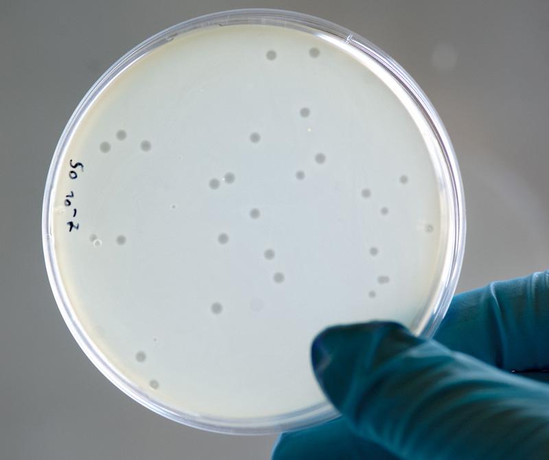 Bakteriofager angriper bakterier på provplatta. Resultatet syns som små gråa fläckar. Foto: Per Westergård