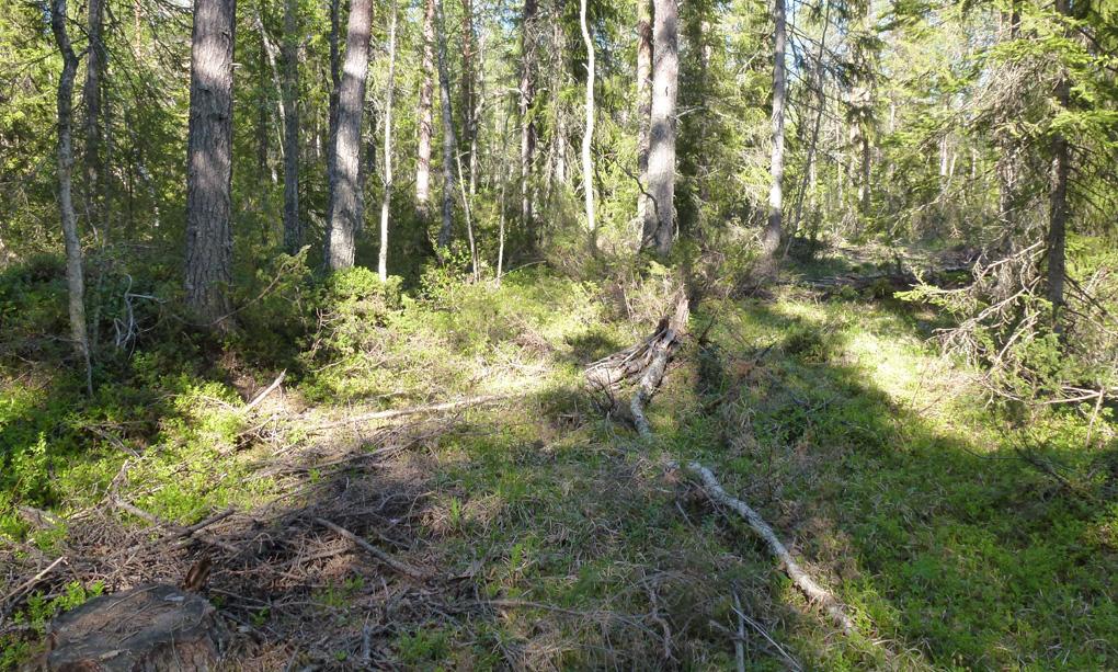 Skog där avverkning nyligen skett genom blädning.Foto: Joakim Hjältén.