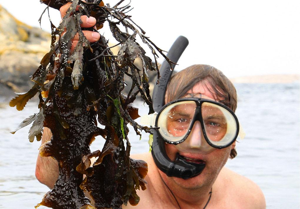Fredrik Gröndahl, forskningsledare för Seafarm, dyker efter sockertång. Foto: Roine Karlsson