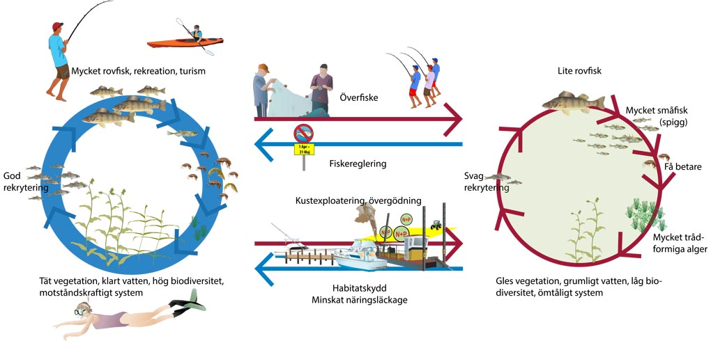Schematisk figur som visar hur födoväven och de ekosystemtjänster som produceras i grunda kustmiljöer påverkas av olika verksamheter och olika typer av förvaltning.Illustration: Joakim Hansen/Östersjöcentrum