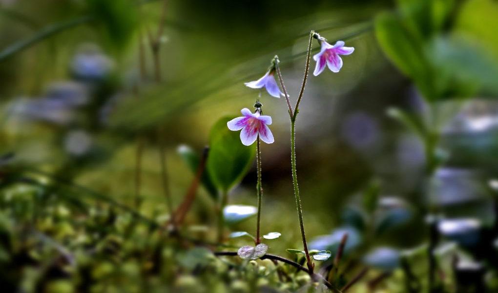 Växtarten Linnea