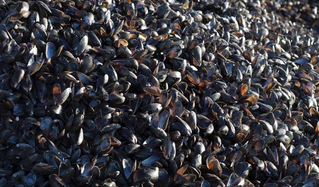 Musselodlingar ger bättre havsmiljö