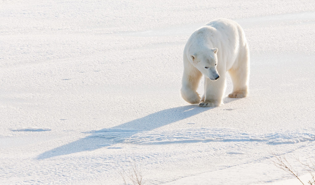 isbjörnar flyttar när isen i Arktis smälter