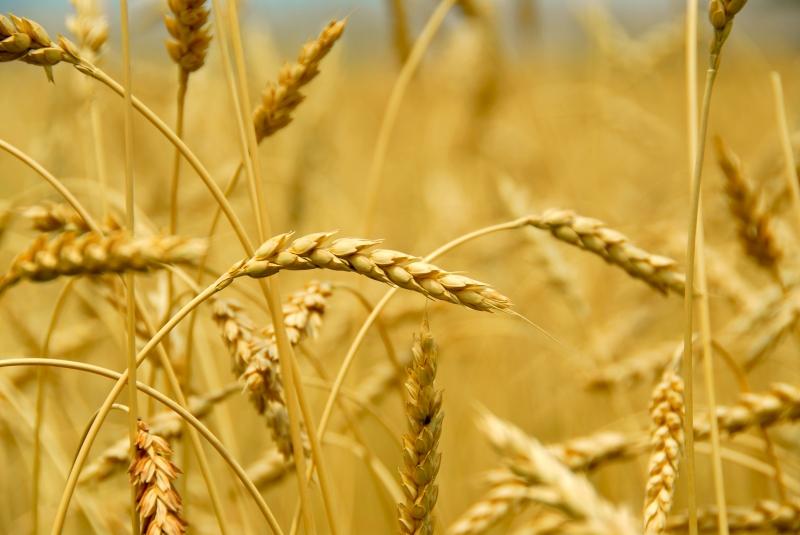 marknära ozon ger minskade skördar