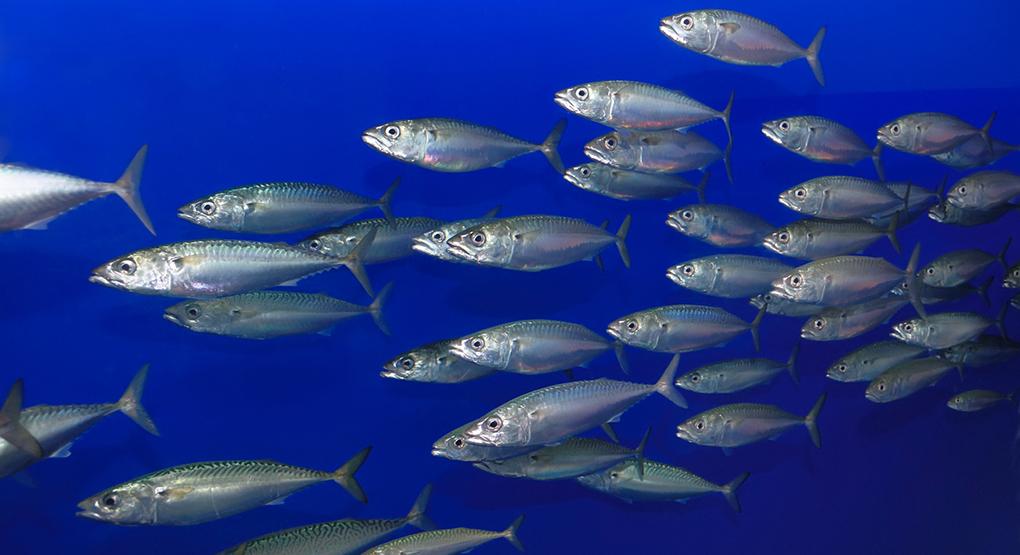 Subtropiska fiskar söker sig norrut