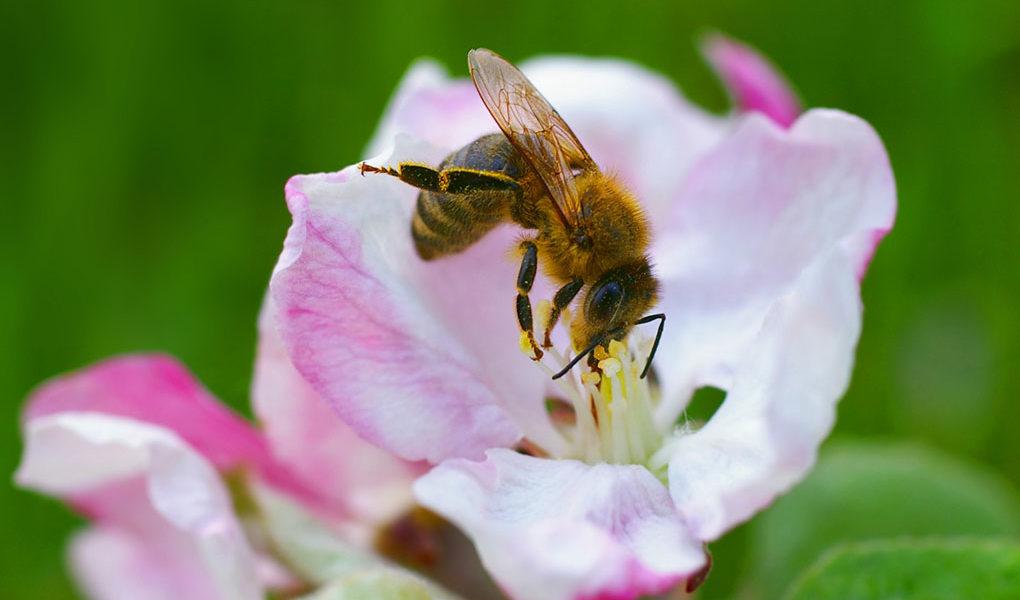 Fler arter av vilda bin i storstäder än i omgivande jordbrukslandskap