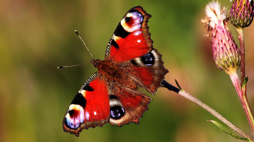 Svenska fjärilar vaknar allt tidigare