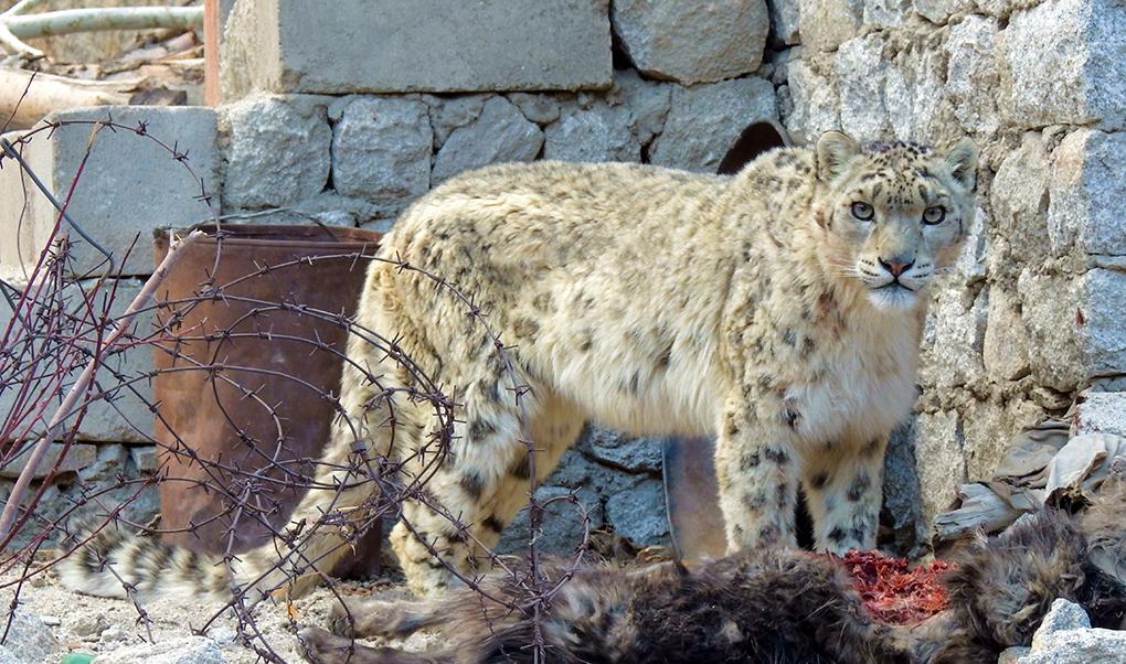 Tillsammans med Charudutt Mishra, forskningschef på Snow Leopard Trust, har Stephen Redpath forskat kring möjliga lösningar på konflikterna kring snöleoparden. På bilden har en leopard just rivit boskap i en by i Ladakh, Indien – något som innebär ett hårt ekonomiskt slag för familjen som äger boskapen. Foto: Snow Leopard Trust