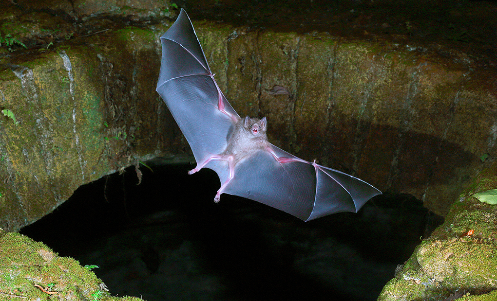 Vampyrfladdermus i Mexiko
