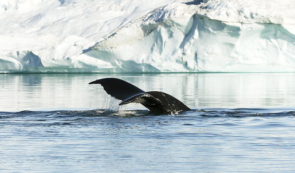Svansen på knolval Arktis