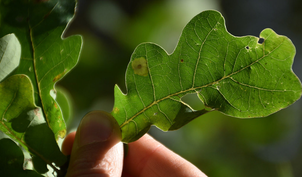 Tischeria ekebladella