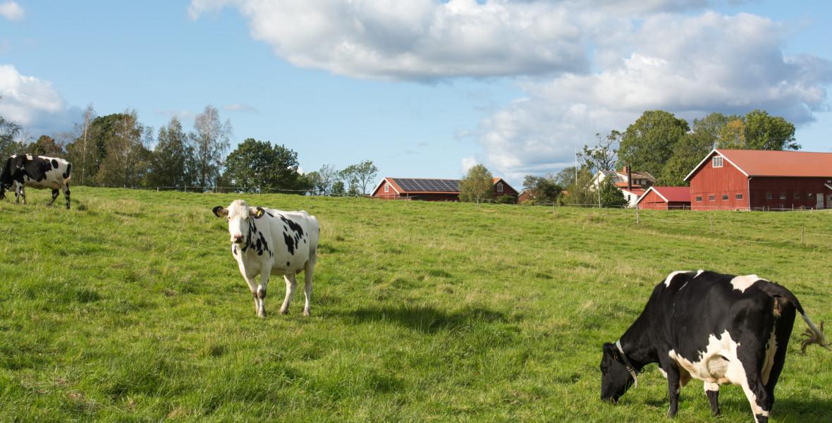Kor vid bondgård